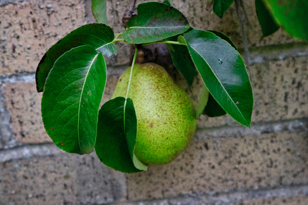 Autumn pear